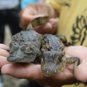 caimán aguja-Crocodylus acutus (2)